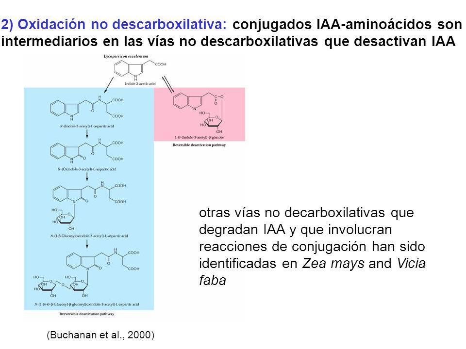 2) Oxidación no descarboxilativa: conjugados IAA-aminoácidos son intermediarios en las vías no descarboxilativas que desactivan IAA (Buchanan et al.,