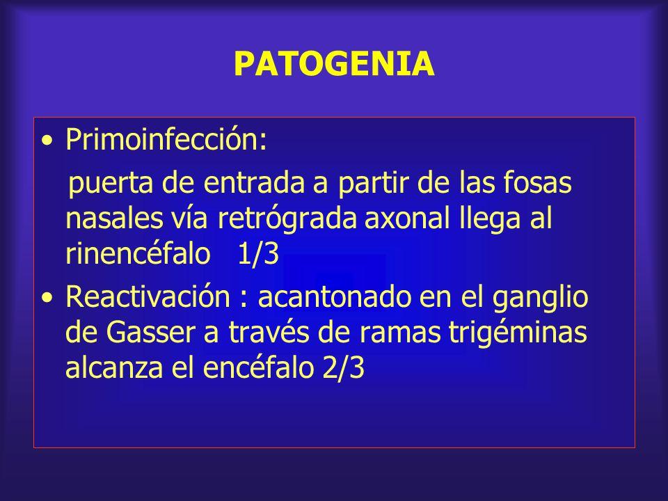 PATOGENIA Primoinfección: puerta de entrada a partir de las fosas nasales vía retrógrada axonal llega al rinencéfalo 1/3 Reactivación : acantonado en