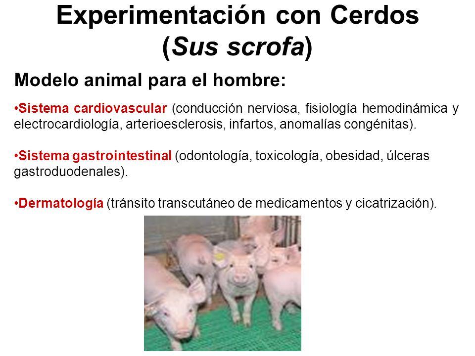 Experimentación con Cerdos (Sus scrofa) Modelo animal para el hombre: Sistema cardiovascular (conducción nerviosa, fisiología hemodinámica y electrocardiología, arterioesclerosis, infartos, anomalías congénitas).