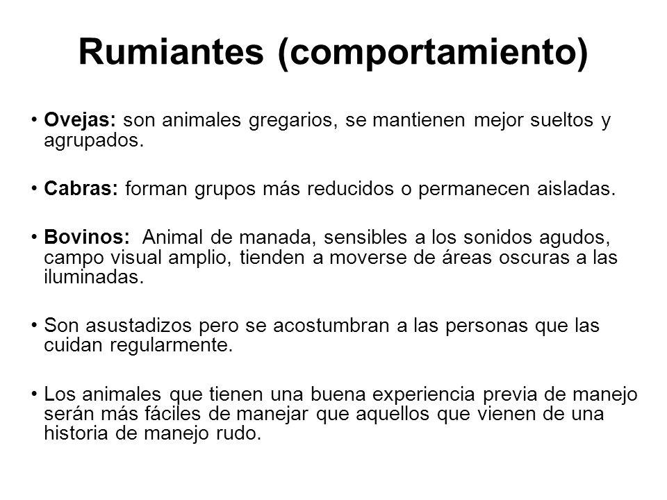 Rumiantes (comportamiento) Ovejas: son animales gregarios, se mantienen mejor sueltos y agrupados.