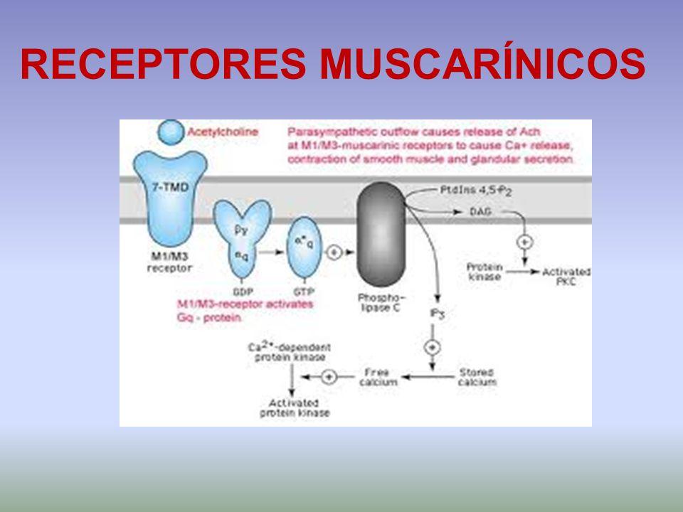 RECEPTORES MUSCARÍNICOS