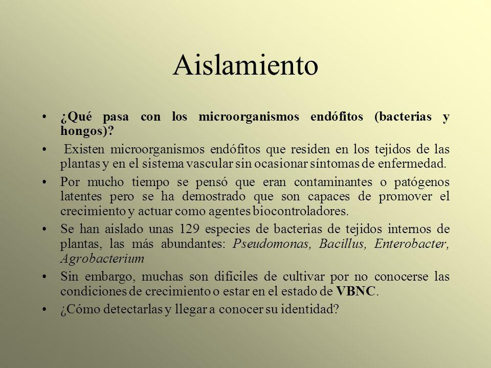 Aislamiento ¿Qué pasa con los microorganismos endófitos (bacterias y hongos)? Existen microorganismos endófitos que residen en los tejidos de las plan