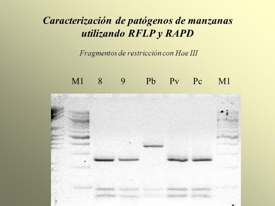 Caracterización de patógenos de manzanas utilizando RFLP y RAPD Fragmentos de restricción con Hae III M1 8 9 Pb Pv Pc M1