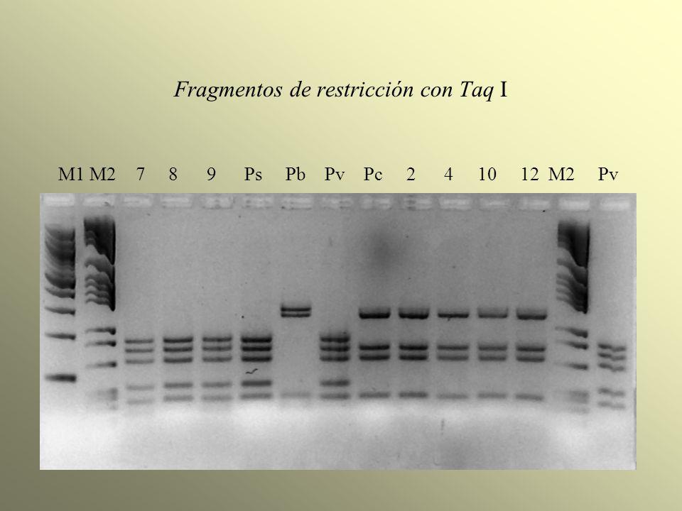 Fragmentos de restricción con Taq I M1 M2 7 8 9 Ps Pb Pv Pc 2 4 10 12 M2 Pv