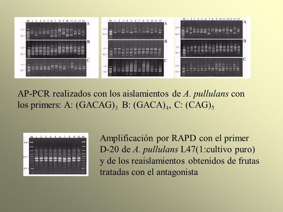 AP-PCR realizados con los aislamientos de A. pullulans con los primers: A: (GACAG) 3 B: (GACA) 4, C: (CAG) 5 Amplificación por RAPD con el primer D-20