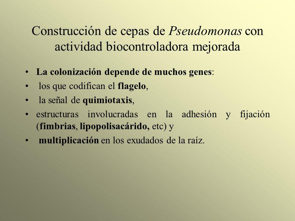 Construcción de cepas de Pseudomonas con actividad biocontroladora mejorada La colonización depende de muchos genes: los que codifican el flagelo, la