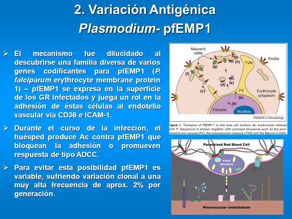 2. Variación Antigénica Plasmodium- pfEMP1 El mecanismo fue dilucidado al descubrirse una familia diversa de varios genes codificantes para pfEMP1 (P.
