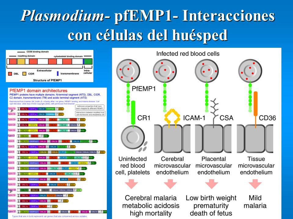 Plasmodium- pfEMP1- Interacciones con células del huésped