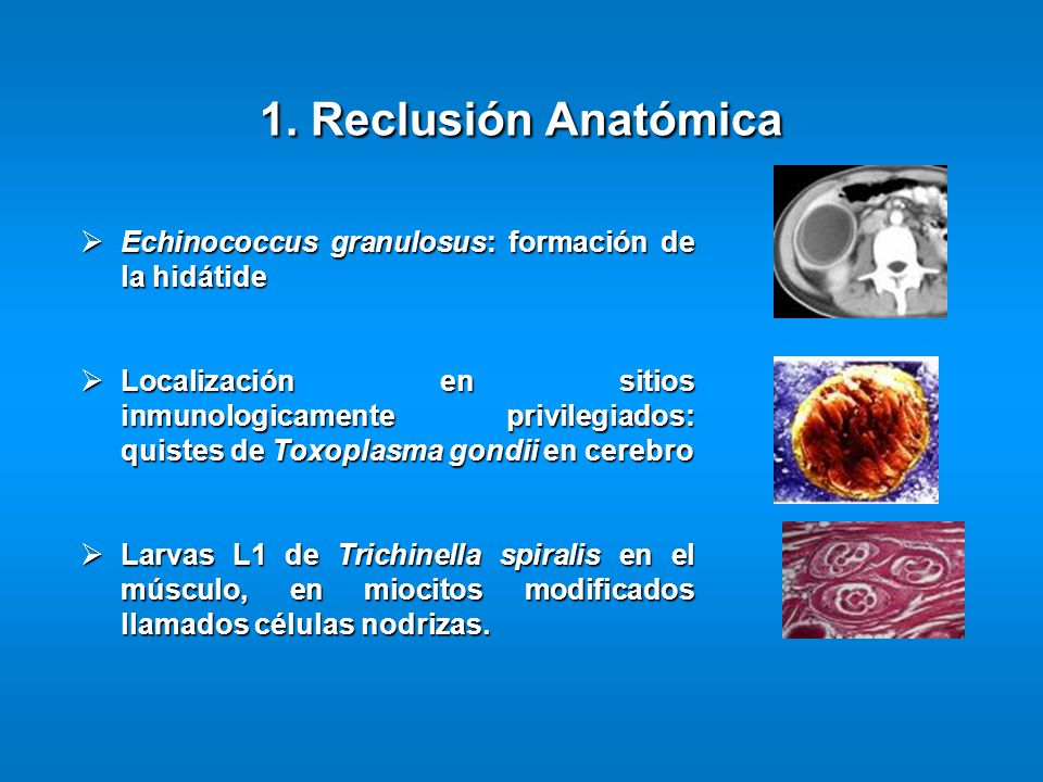 Echinococcus granulosus: formación de la hidátide Echinococcus granulosus: formación de la hidátide Localización en sitios inmunologicamente privilegi