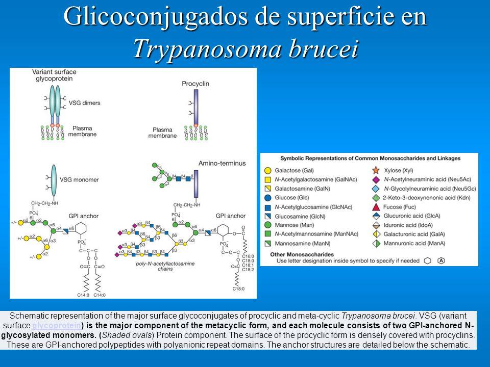 Glicoconjugados de superficie en Trypanosoma brucei Schematic representation of the major surface glycoconjugates of procyclic and meta-cyclic Trypano