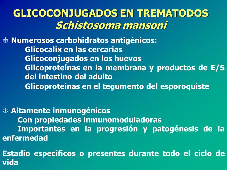GLICOCONJUGADOS EN TREMATODOS Schistosoma mansoni T Numerosos carbohidratos antigénicos: Glicocalix en las cercarias Glicoconjugados en los huevos Glicoproteínas en la membrana y productos de E/S del intestino del adulto Glicoproteínas en el tegumento del esporoquiste T Altamente inmunogénicos Con propiedades inmunomoduladoras Importantes en la progresión y patogénesis de la enfermedad Estadio específicos o presentes durante todo el ciclo de vida