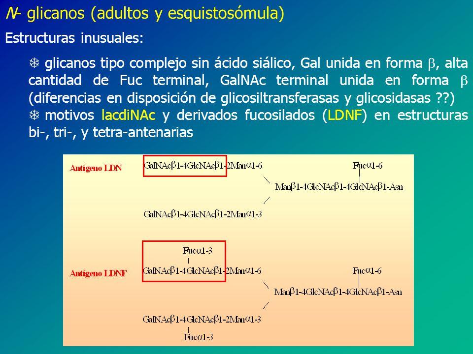 N- glicanos (adultos y esquistosómula) Estructuras inusuales: T glicanos tipo complejo sin ácido siálico, Gal unida en forma, alta cantidad de Fuc terminal, GalNAc terminal unida en forma (diferencias en disposición de glicosiltransferasas y glicosidasas ??) T motivos lacdiNAc y derivados fucosilados (LDNF) en estructuras bi-, tri-, y tetra-antenarias