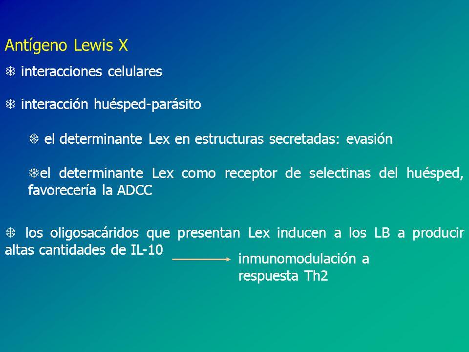 Antígeno Lewis X T interacciones celulares T interacción huésped-parásito T el determinante Lex en estructuras secretadas: evasión Tel determinante Lex como receptor de selectinas del huésped, favorecería la ADCC T los oligosacáridos que presentan Lex inducen a los LB a producir altas cantidades de IL-10 inmunomodulación a respuesta Th2