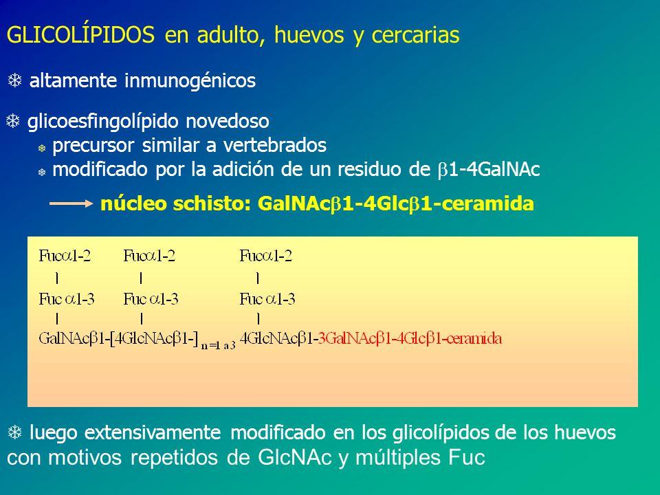 GLICOLÍPIDOS en adulto, huevos y cercarias T altamente inmunogénicos T glicoesfingolípido novedoso T precursor similar a vertebrados T modificado por la adición de un residuo de 1-4GalNAc núcleo schisto: GalNAc 1-4Glc 1-ceramida luego extensivamente modificado en los glicolípidos de los huevos con motivos repetidos de GlcNAc y múltiples Fuc