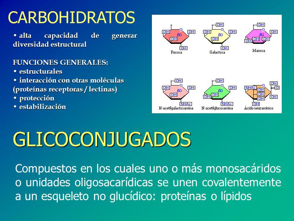 FUNCIONES GENERALES: estructurales estructurales interacción con otras moléculas (proteínas receptoras / lectinas) interacción con otras moléculas (proteínas receptoras / lectinas) protección protección estabilización estabilización CARBOHIDRATOS GLICOCONJUGADOS Compuestos en los cuales uno o más monosacáridos o unidades oligosacarídicas se unen covalentemente a un esqueleto no glucídico: proteínas o lípidos alta capacidad de generar diversidad estructural alta capacidad de generar diversidad estructural