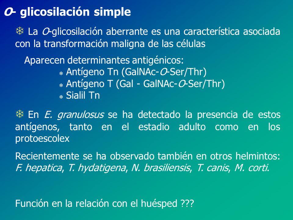 T La O-glicosilación aberrante es una característica asociada con la transformación maligna de las células Aparecen determinantes antigénicos: T Antígeno Tn (GalNAc-O-Ser/Thr) T Antígeno T (Gal - GalNAc-O-Ser/Thr) T Sialil Tn T En E.