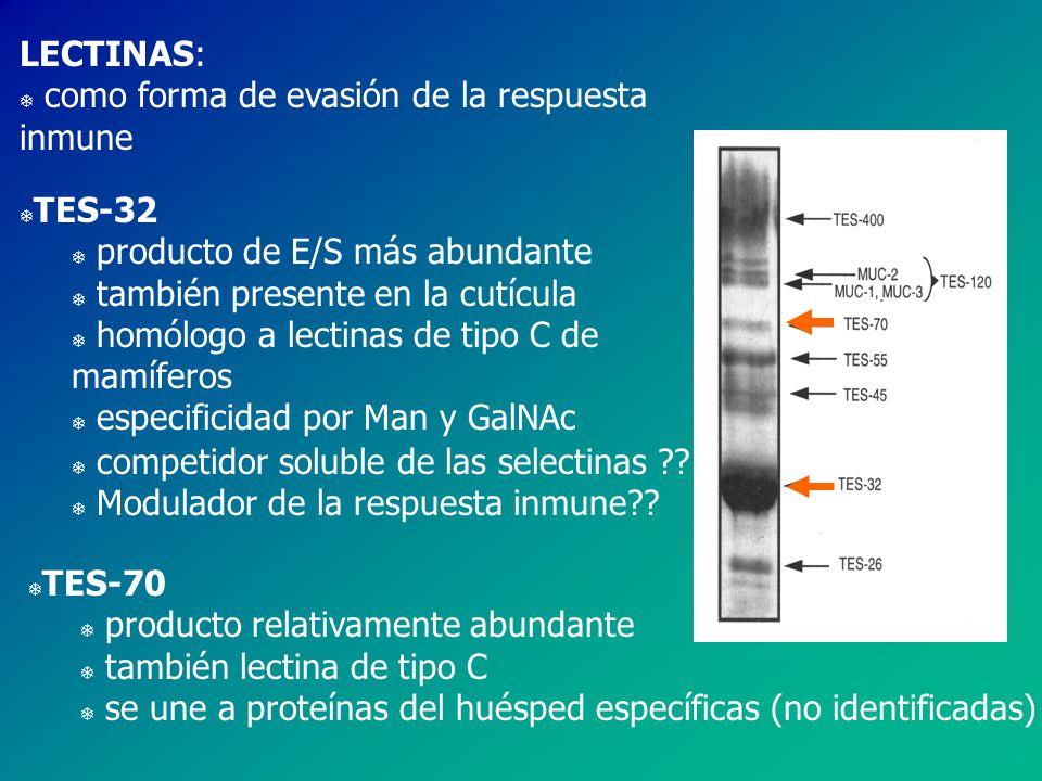 LECTINAS: T como forma de evasión de la respuesta inmune T TES-32 T producto de E/S más abundante T también presente en la cutícula T homólogo a lectinas de tipo C de mamíferos T especificidad por Man y GalNAc T competidor soluble de las selectinas ?.