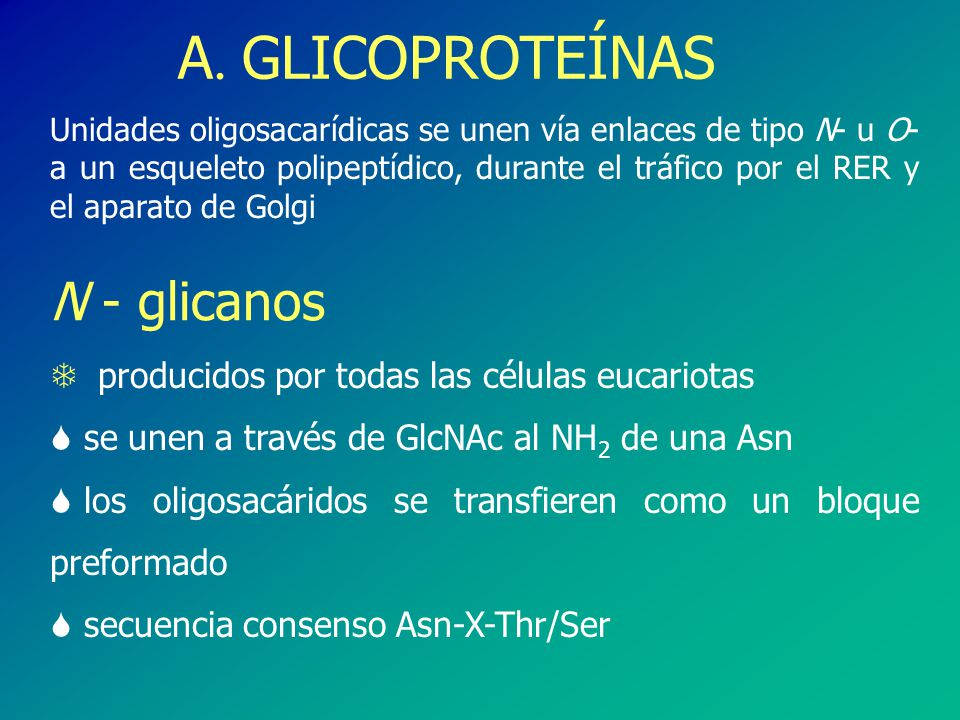 A. GLICOPROTEÍNAS Unidades oligosacarídicas se unen vía enlaces de tipo N- u O- a un esqueleto polipeptídico, durante el tráfico por el RER y el apara