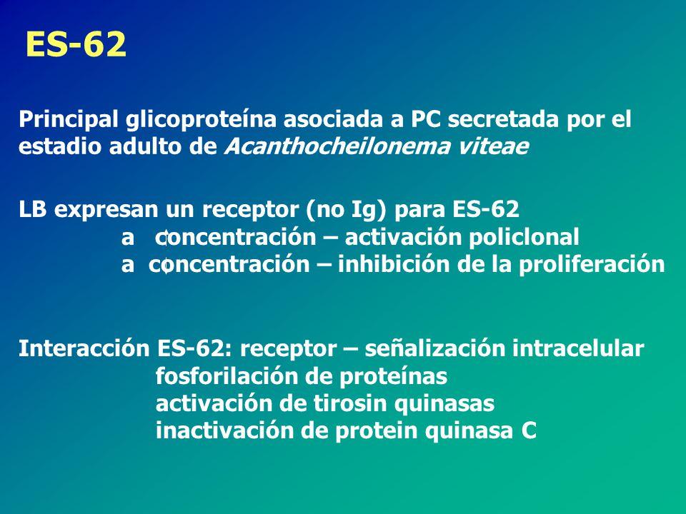 LB expresan un receptor (no Ig) para ES-62 a concentración – activación policlonal a concentración – inhibición de la proliferación ES-62 Principal glicoproteína asociada a PC secretada por el estadio adulto de Acanthocheilonema viteae Interacción ES-62: receptor – señalización intracelular fosforilación de proteínas activación de tirosin quinasas inactivación de protein quinasa C