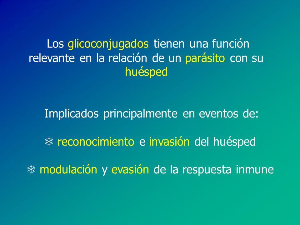 Los glicoconjugados tienen una función relevante en la relación de un parásito con su huésped Implicados principalmente en eventos de: T reconocimiento e invasión del huésped T modulación y evasión de la respuesta inmune