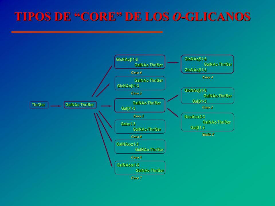 TIPOS DE CORE DE LOS O-GLICANOS GalNAc-Thr/Ser Thr/Ser Core 3 GalNAc-Thr/Ser GalNAc-Thr/Ser GlcNAc 1-3 GlcNAc 1-3 Core 1 GalNAc-Thr/Ser Gal 1-3 Gal 1-3 Core 2 GlcNAc 1-6 GalNAc-Thr/Ser GalNAc-Thr/Ser Gal 1-3 Gal 1-3 Core 4 Core 4 Core 6 Core 5 Core 7 Core 8 Sialil-T GlcNAc 1-6 GalNAc-Thr/Ser GalNAc-Thr/Ser GlcNAc 1-3 GlcNAc 1-3 GlcNAc 1-6 GalNAc-Thr/Ser GalNAc-Thr/Ser GalNAc 1-3 GalNAc-Thr/Ser GalNAc-Thr/Ser GalNAc 1-6 GalNAc-Thr/Ser GalNAc-Thr/Ser Gal 1-3 GalNAc-Thr/Ser GalNAc-Thr/Ser NeuAc 2-3 GalNAc-Thr/Ser GalNAc-Thr/Ser Gal 1-3 Gal 1-3