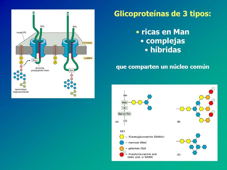 O - glicanos T producidos por todas las células eucariotas T en general se unen a través de GalNAc al OH de una Thr o Ser T biosíntesis en el aparato de Golgi por adición secuencial de los monosacáridos T no hay secuencias consenso/regiones ricas en Pro T 7 núcleos distintos