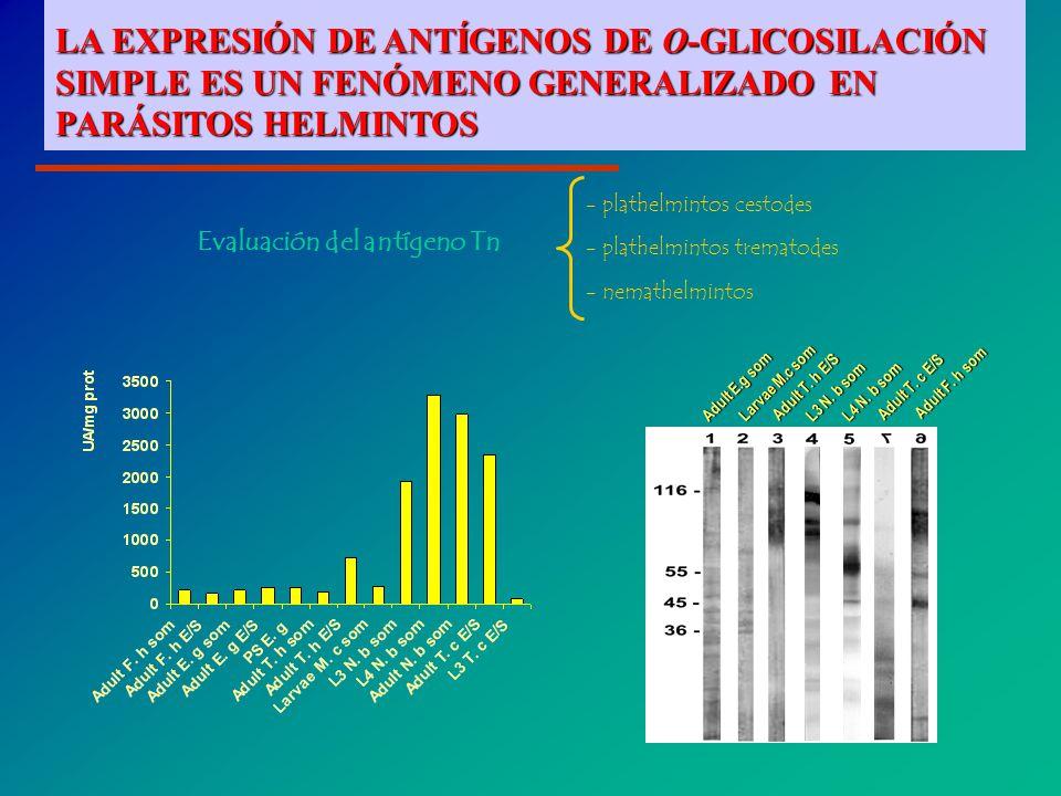 Evaluación del antígeno Tn - plathelmintos cestodes - plathelmintos trematodes - nemathelmintos Adult E.g som Larvae M.c som Adult T.