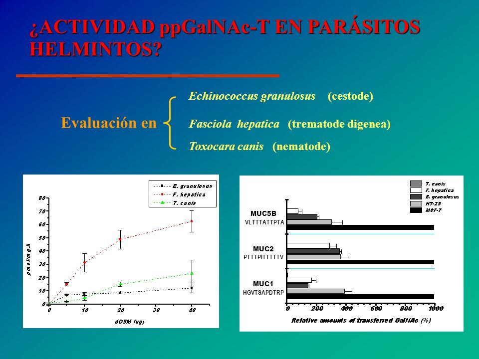 Echinococcus granulosus (cestode) Evaluación en Fasciola hepatica (trematode digenea) Toxocara canis (nematode) MUC5B VLTTTATTPTA MUC2 PTTTPITTTTTV MUC1 HGVTSAPDTRP ¿ACTIVIDAD ppGalNAc-T EN PARÁSITOS HELMINTOS?