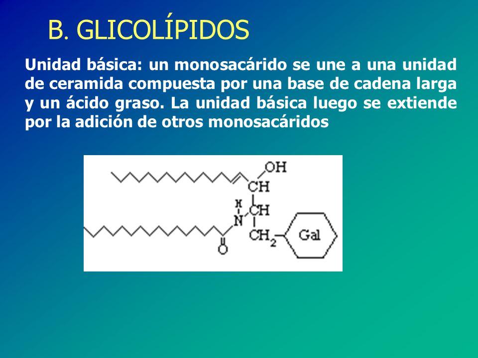 B. GLICOLÍPIDOS Unidad básica: un monosacárido se une a una unidad de ceramida compuesta por una base de cadena larga y un ácido graso. La unidad bási