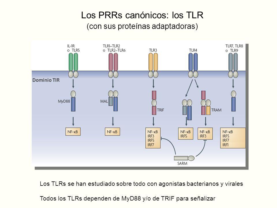 Los PRRs canónicos: los TLR (con sus proteínas adaptadoras) Dominio TIR Los TLRs se han estudiado sobre todo con agonistas bacterianos y virales Todos los TLRs dependen de MyD88 y/o de TRIF para señalizar