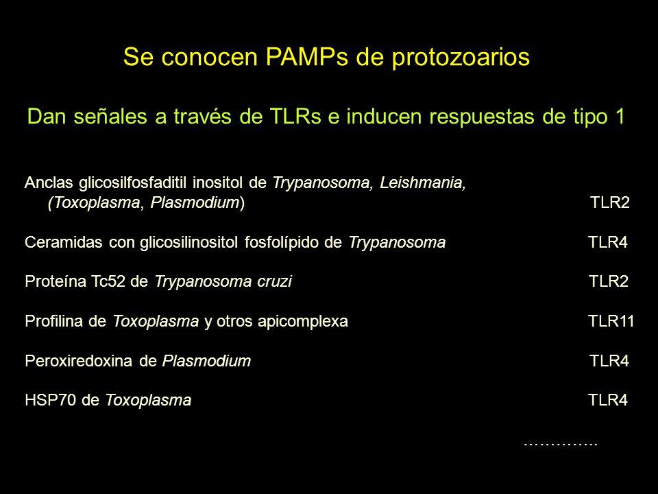 Se conocen PAMPs de protozoarios Dan señales a través de TLRs e inducen respuestas de tipo 1 Anclas glicosilfosfaditil inositol de Trypanosoma, Leishmania, (Toxoplasma, Plasmodium) TLR2 Ceramidas con glicosilinositol fosfolípido de Trypanosoma TLR4 Proteína Tc52 de Trypanosoma cruzi TLR2 Profilina de Toxoplasma y otros apicomplexa TLR11 Peroxiredoxina de Plasmodium TLR4 HSP70 de Toxoplasma TLR4 …………..