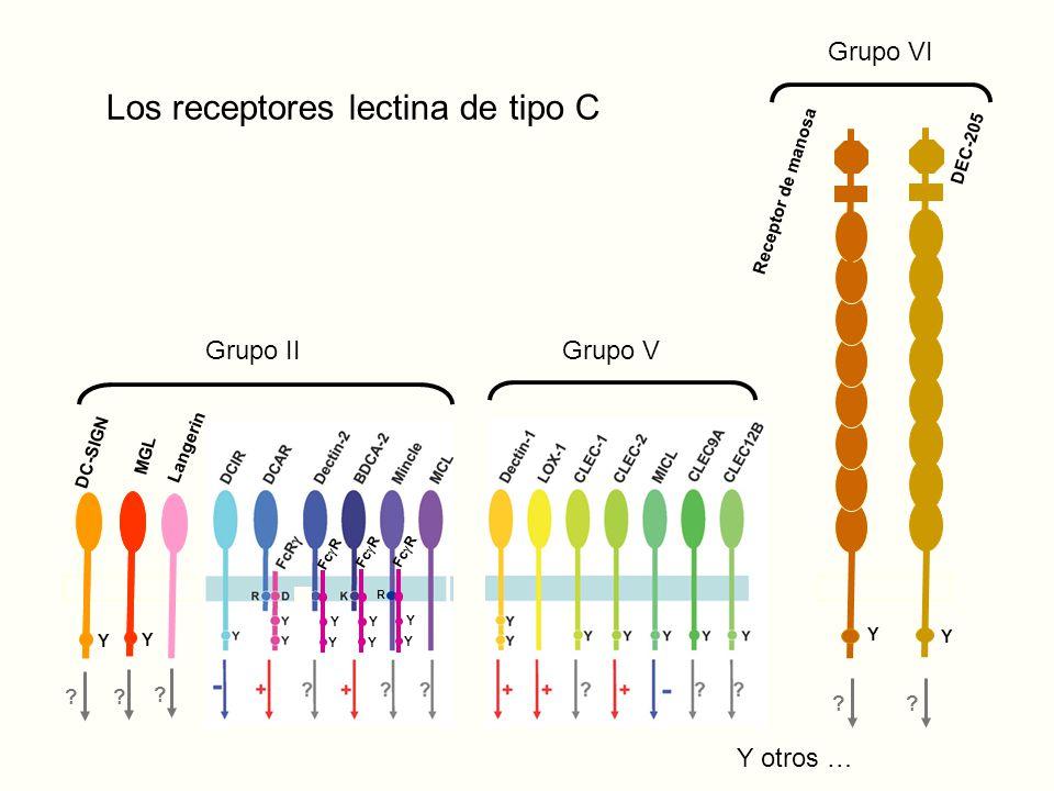 Y Y ?.Receptor de manosa DEC-205 Grupo VI DC-SIGN Y Y MGL .