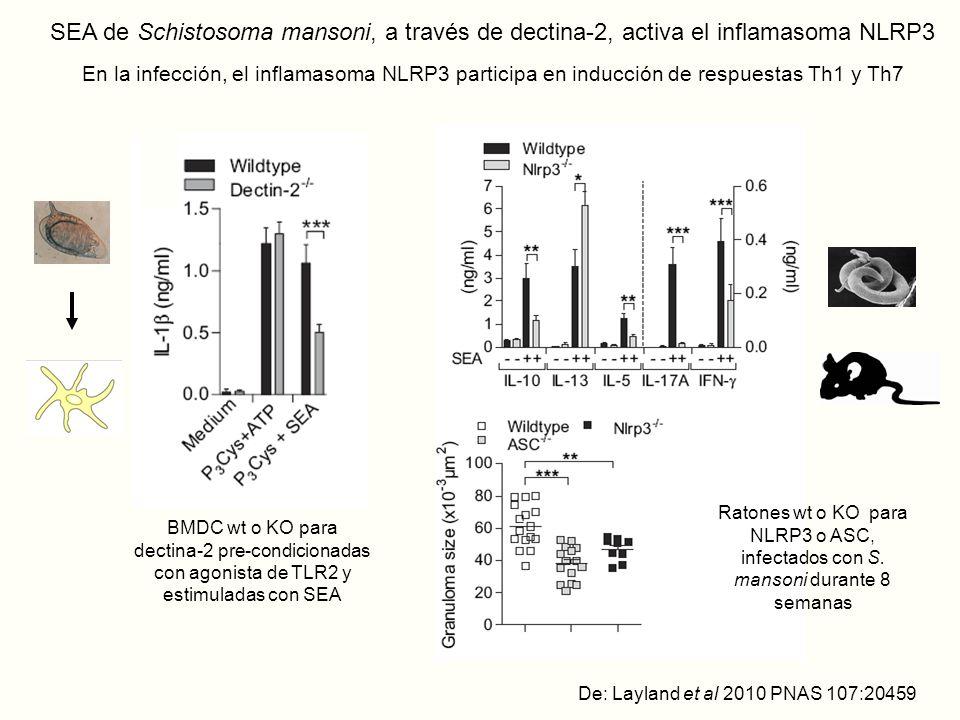SEA de Schistosoma mansoni, a través de dectina-2, activa el inflamasoma NLRP3 En la infección, el inflamasoma NLRP3 participa en inducción de respuestas Th1 y Th7 De: Layland et al 2010 PNAS 107:20459 BMDC wt o KO para dectina-2 pre-condicionadas con agonista de TLR2 y estimuladas con SEA Ratones wt o KO para NLRP3 o ASC, infectados con S.
