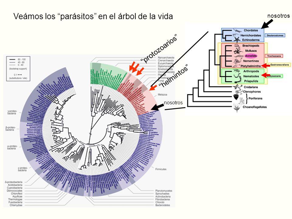 nosotros Veámos los parásitos en el árbol de la vida protozoarios helmintos