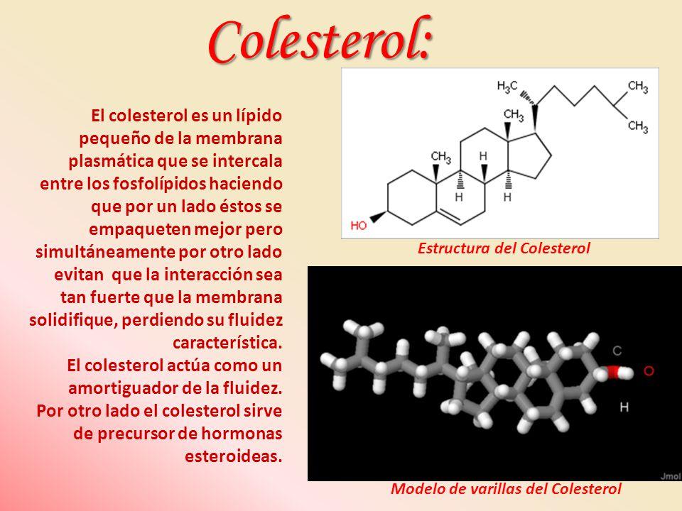 Modelo de varillas del Colesterol Estructura del Colesterol El colesterol es un lípido pequeño de la membrana plasmática que se intercala entre los fo