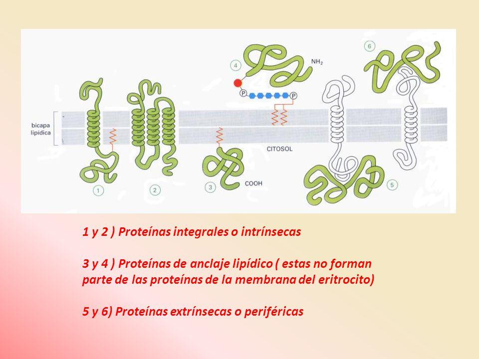 1 y 2 ) Proteínas integrales o intrínsecas 3 y 4 ) Proteínas de anclaje lipídico ( estas no forman parte de las proteínas de la membrana del eritrocit