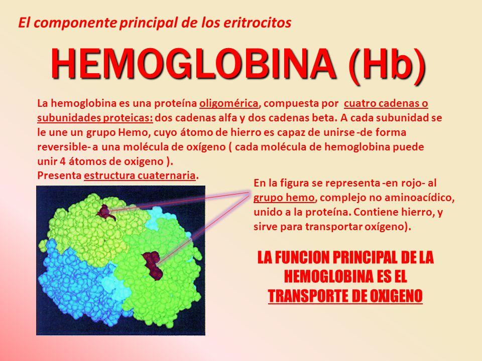 La hemoglobina es una proteína oligomérica, compuesta por cuatro cadenas o subunidades proteicas: dos cadenas alfa y dos cadenas beta. A cada subunida