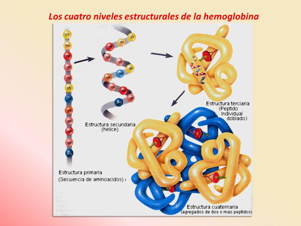 Los cuatro niveles estructurales de la hemoglobina