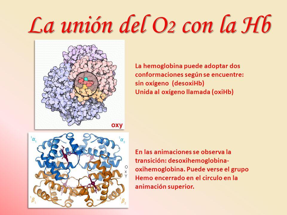 La hemoglobina puede adoptar dos conformaciones según se encuentre: sin oxígeno (desoxiHb) Unida al oxígeno llamada (oxiHb) En las animaciones se obse