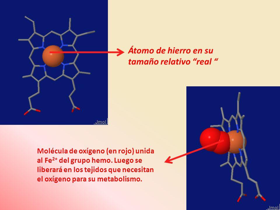 Átomo de hierro en su tamaño relativo real Molécula de oxígeno (en rojo) unida al Fe 2+ del grupo hemo. Luego se liberará en los tejidos que necesitan