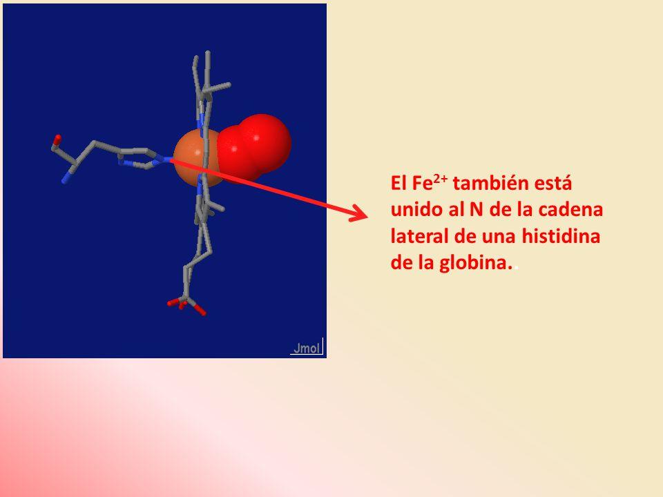 El Fe 2+ también está unido al N de la cadena lateral de una histidina de la globina..
