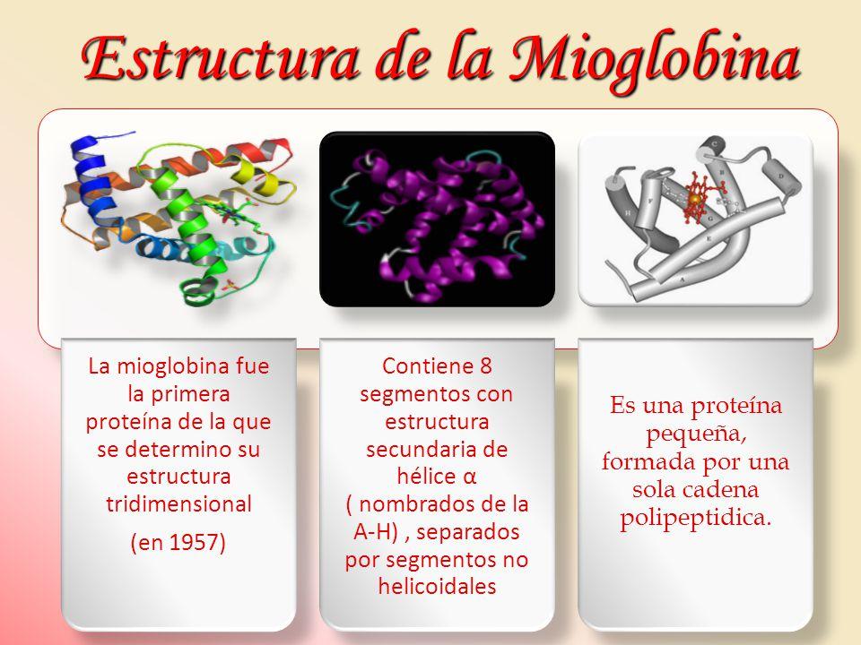 Estructura de la Mioglobina La mioglobina fue la primera proteína de la que se determino su estructura tridimensional (en 1957) Contiene 8 segmentos c