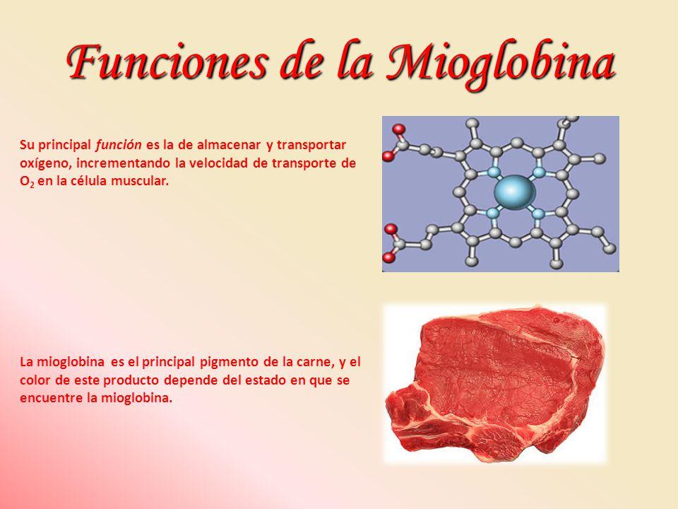 Funciones de la Mioglobina Su principal función es la de almacenar y transportar oxígeno, incrementando la velocidad de transporte de O 2 en la célula