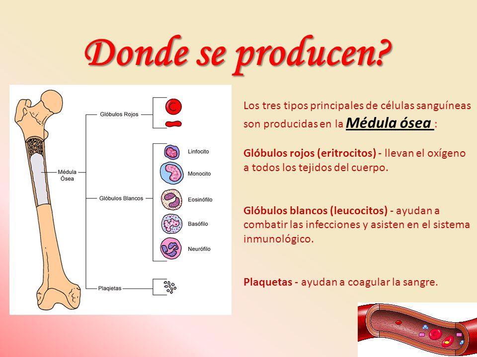 Los tres tipos principales de células sanguíneas son producidas en la Médula ósea : Glóbulos rojos (eritrocitos) - llevan el oxígeno a todos los tejid