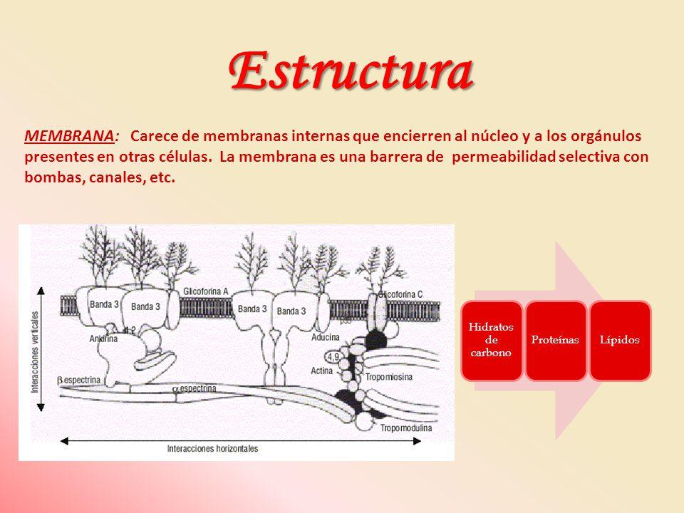MEMBRANA: Carece de membranas internas que encierren al núcleo y a los orgánulos presentes en otras células. La membrana es una barrera de permeabilid