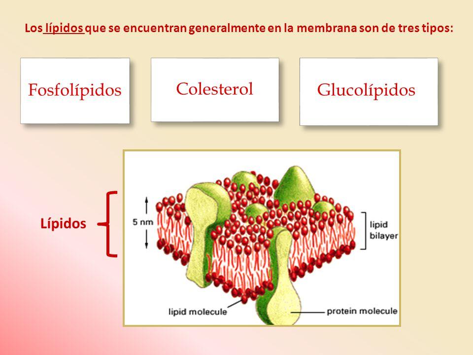 Los lípidos que se encuentran generalmente en la membrana son de tres tipos: Lípidos Fosfolípidos Colesterol Glucolípidos