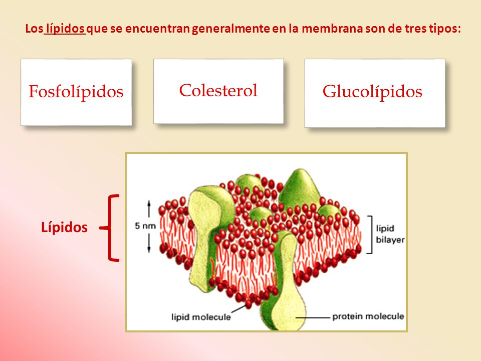 *Fosfolípidos: Fosfatidilcolina (lecitina) 13% Esfingomielina 26% Esfingomielina 26% Fosfatidiletanolamina (cefalina) 27% Fosfatidiletanolamina (cefalina) 27% Fosfatildilserina 13% Fosfatildilserina 13% Fosfatidilinositol 5% Fosfatidilinositol 5%*Colesterol.