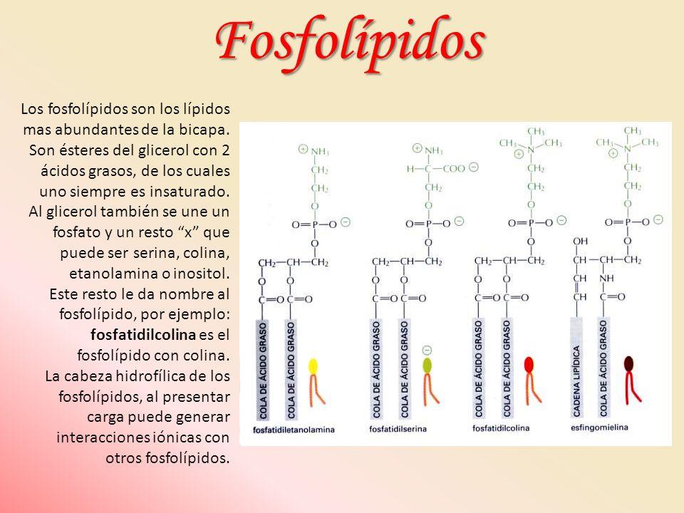 Los fosfolípidos son los lípidos mas abundantes de la bicapa. Son ésteres del glicerol con 2 ácidos grasos, de los cuales uno siempre es insaturado. A