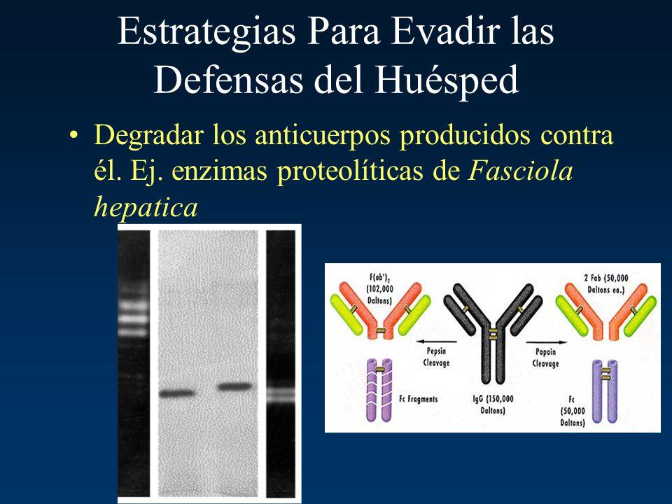 Estrategias Para Evadir las Defensas del Huésped Degradar los anticuerpos producidos contra él. Ej. enzimas proteolíticas de Fasciola hepatica