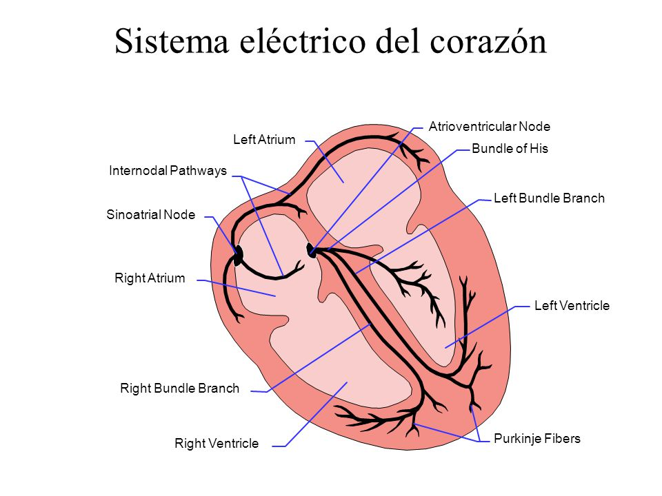 Sistema eléctrico del corazón Left Atrium Atrioventricular Node Bundle of His Left Bundle Branch Left Ventricle Purkinje Fibers Right Ventricle Right